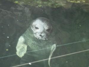 NY Aquarium's baby harbor seal born around Memorial Day, 2013. Copyright Deborah Abrams Kaplan
