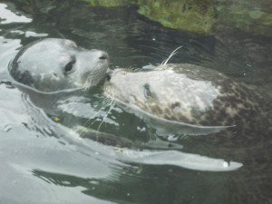 NY Aquarium's baby harbor seal rubs noses with Mom while checking in. Copyright Deborah Abrams Kaplan