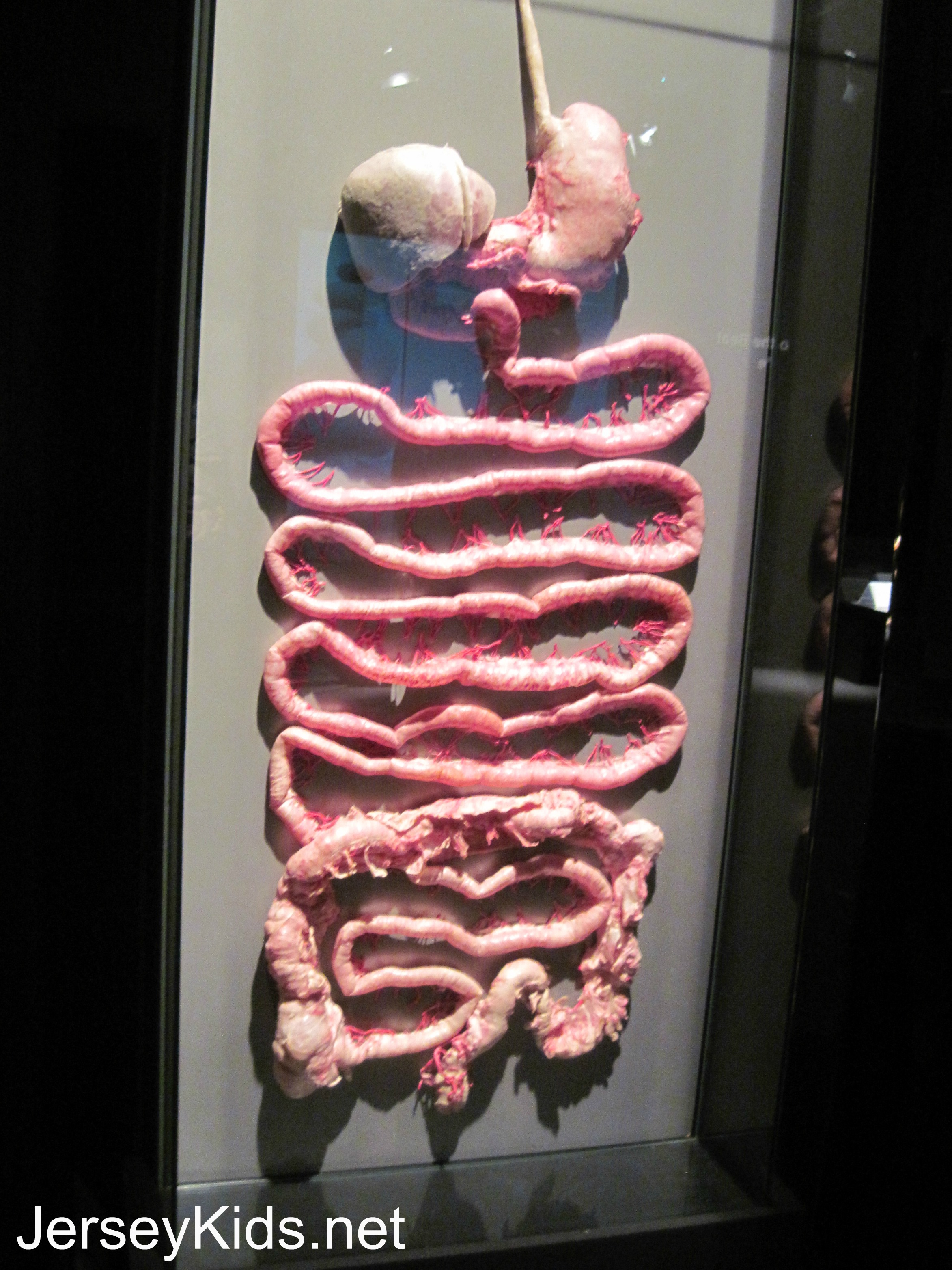 Review: Body Worlds: Pulse - Good for Kids? - Jersey Kids
