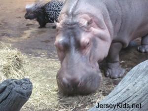 camden hippo