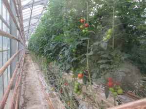 Unrelated picture. They grow tomatoes geothermal-powered greenhouses. Copyright Deborah Abrams Kaplan